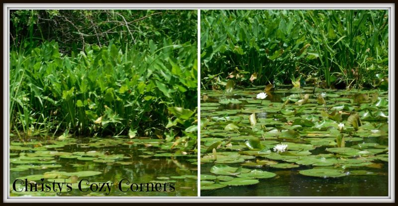 Lilies along the Ohio and Erie Canal in Canal Fulton Ohio