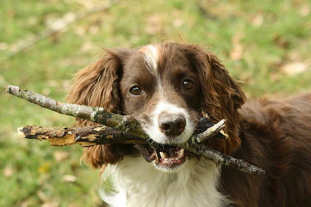 Boarder Collie holding sticks in his mouth