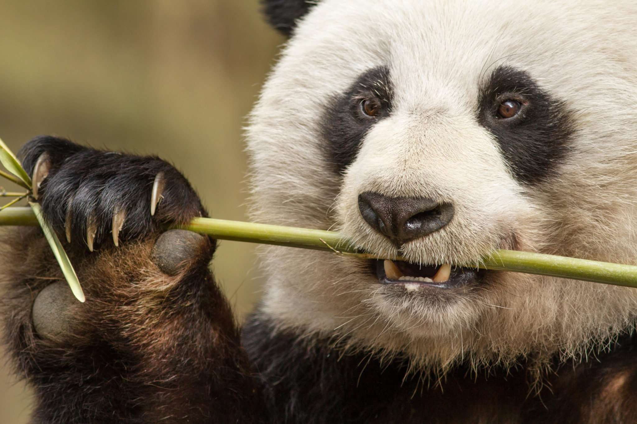 Born in China from Disneynature Opens on Earth Day