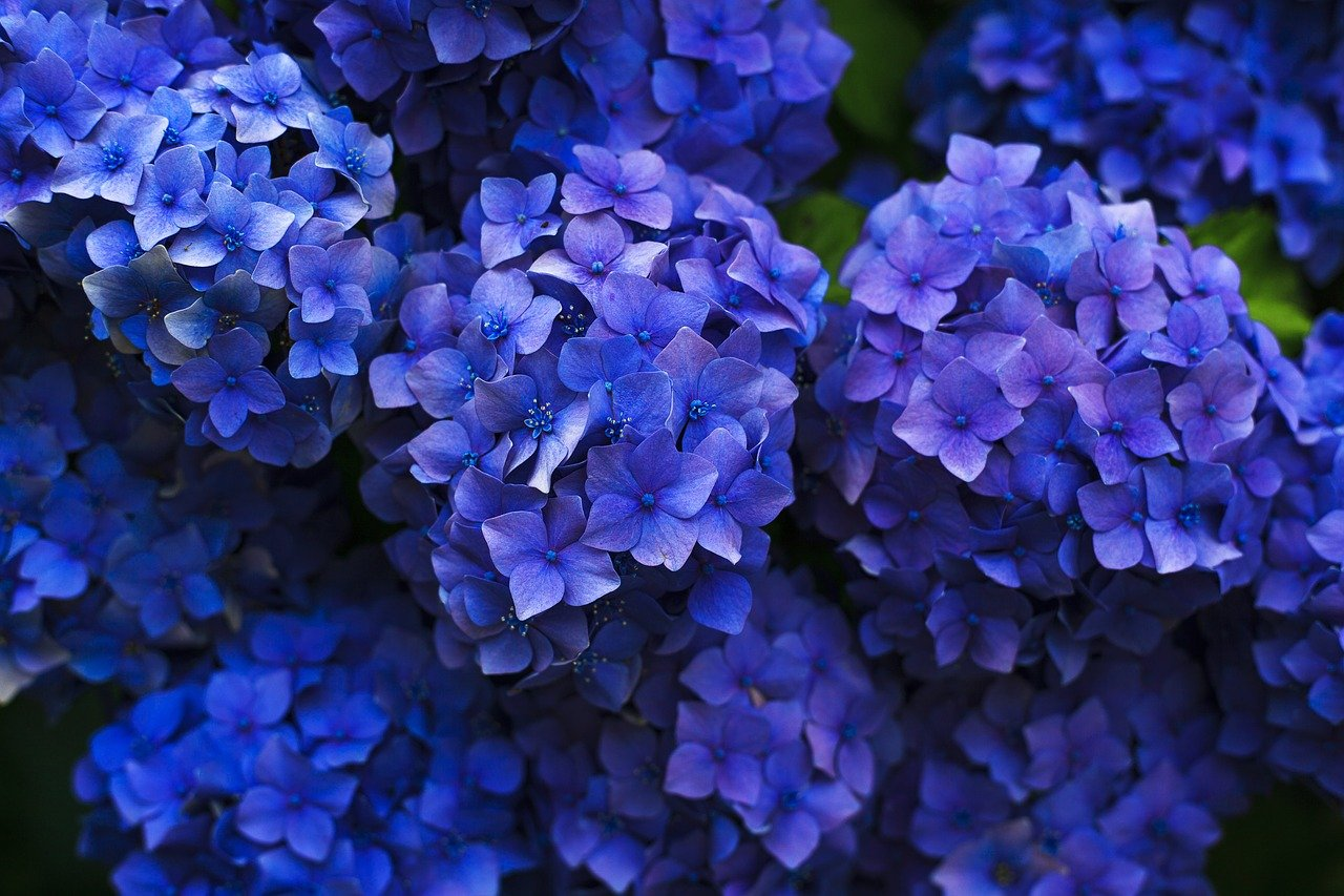 Hydrangeas: Perfect for Your Landscaping