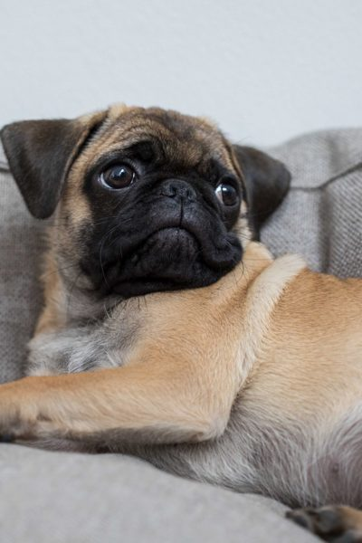 Tips for Getting a Pug Puppy