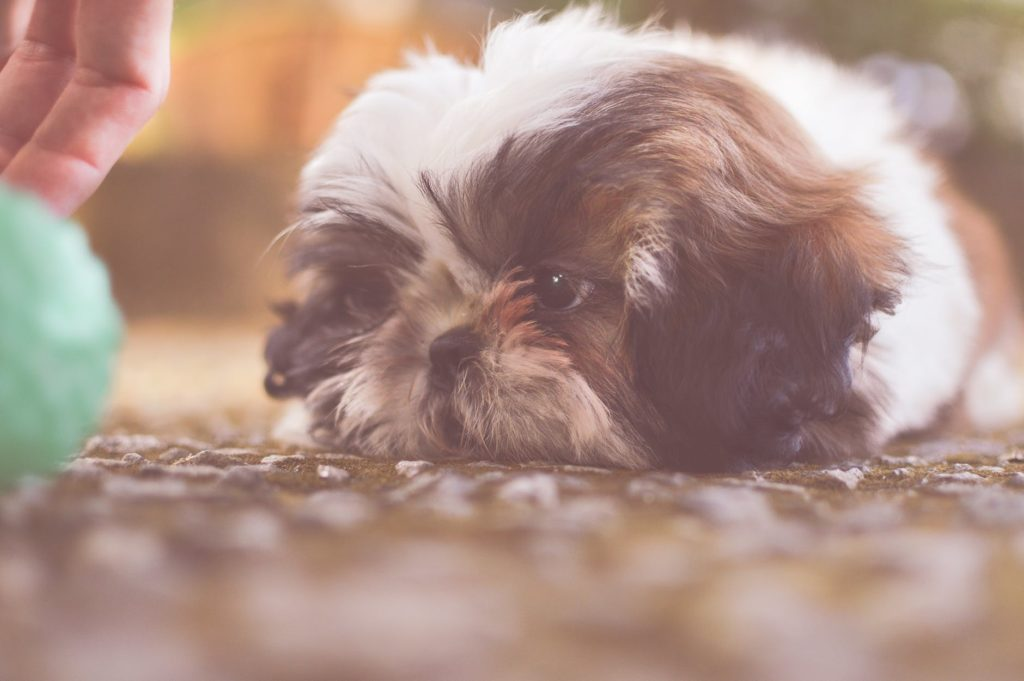 Everything You Need to Know About the Small But Mighty Shih-Tzu