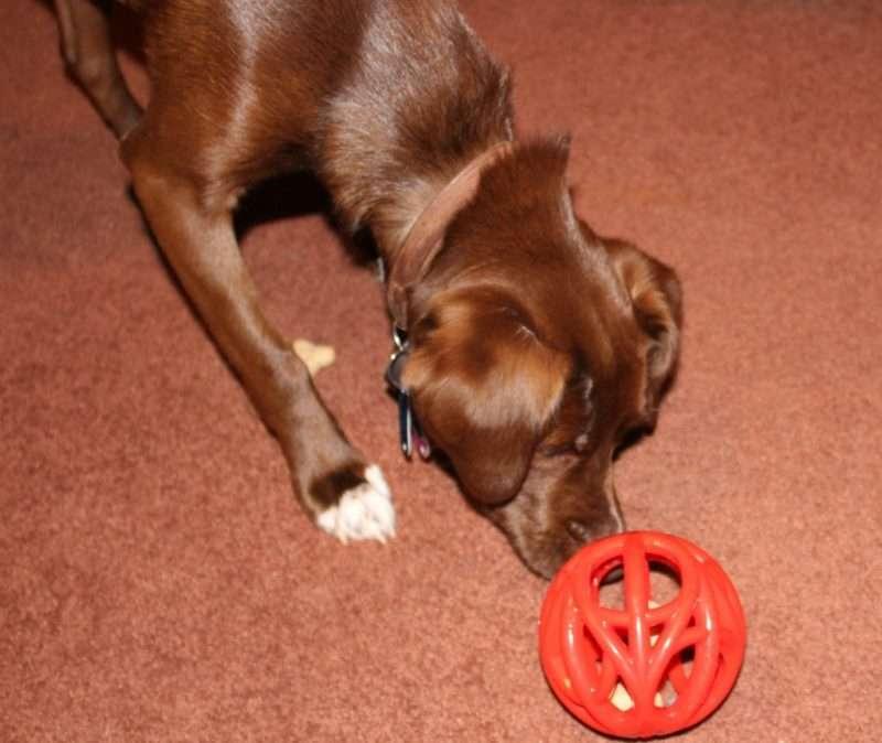 Duke playing with a Milk Bone reward toy.