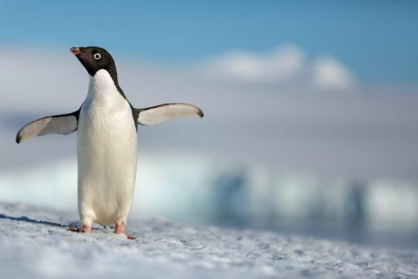 Disneynature's PENGUINS Is Coming Earth Day 2019