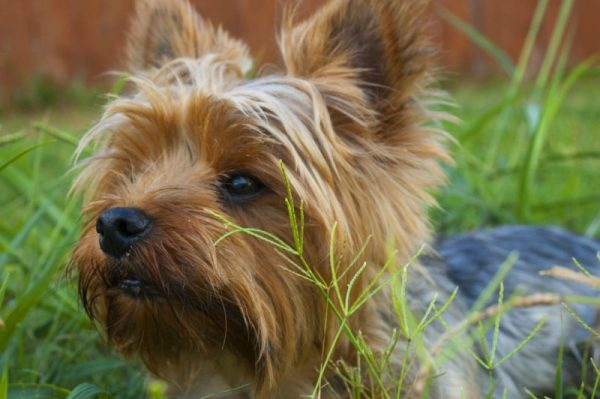 Yorkshire Terrier in the grass