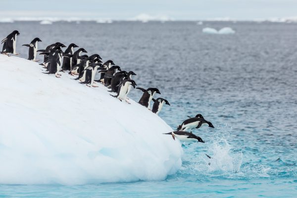 Penguins diving into the ocean