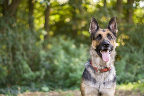 Rehoming dogs, like this German Shepherd ,directly keeps them out of shelters.